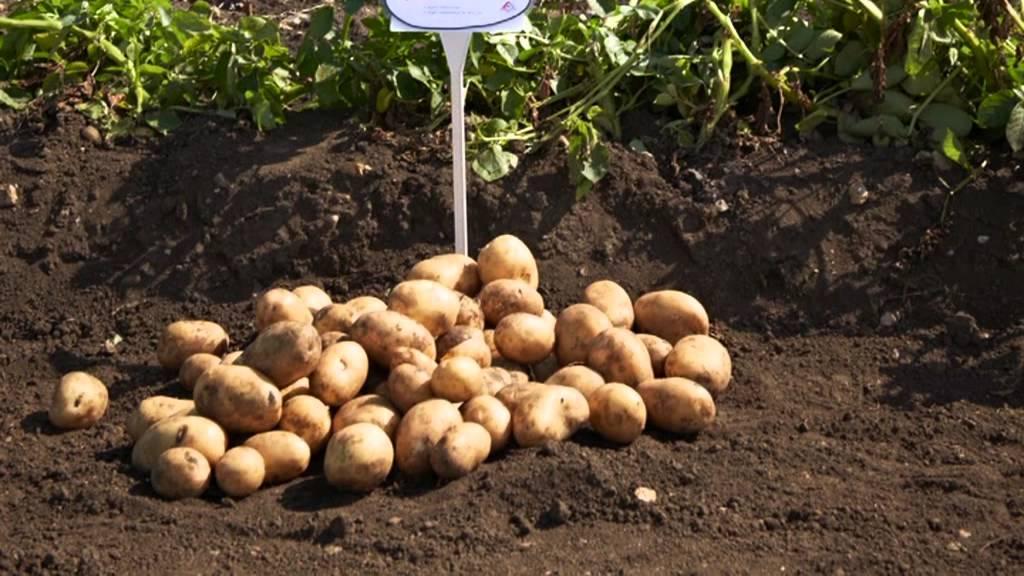 Agrico Uk Potato Variety Open Day 2013