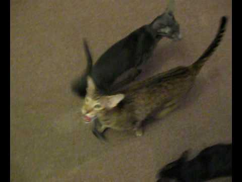 oriental cats - Grass orchestra