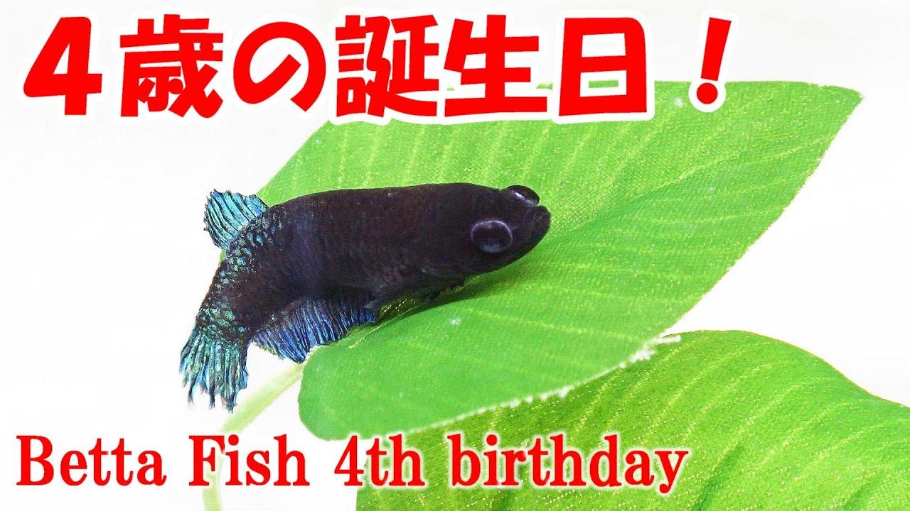 【奇跡】ベタが4歳になった!長寿の秘訣!【ベタの繁殖】bettafish breeding