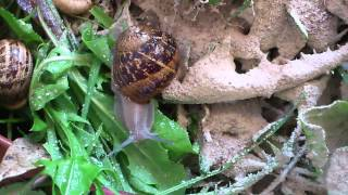 Snail Terrarium with Cornu aspersum and Achatina fulica