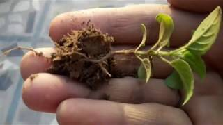 How to plant TULSI sapling