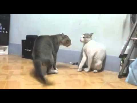 Gatos dançando capoeira!😅