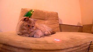 Кот с попугаем и лазерная игрушка Cat and parrot