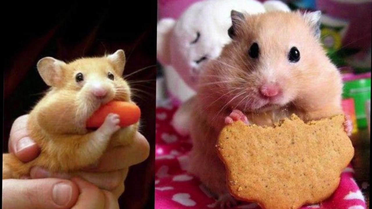 Картинки хомяка с печеньем