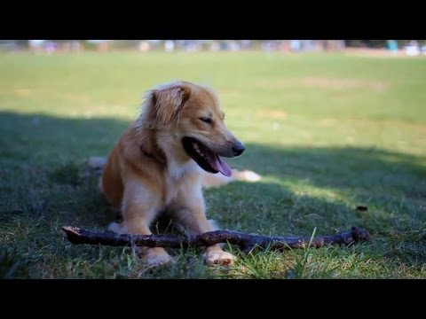 Sheltie-Lab Mix Loves Frisbee | The Daily Puppy