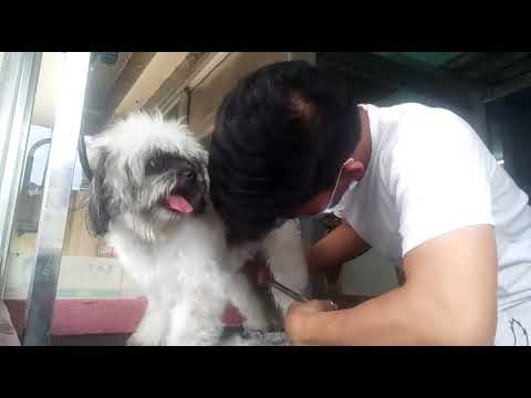 Puppy Cut Medium - Shih Tzu - Groomer Renan - Blue Fin Animal Clinic Lower Bicutan - vid by Jason D