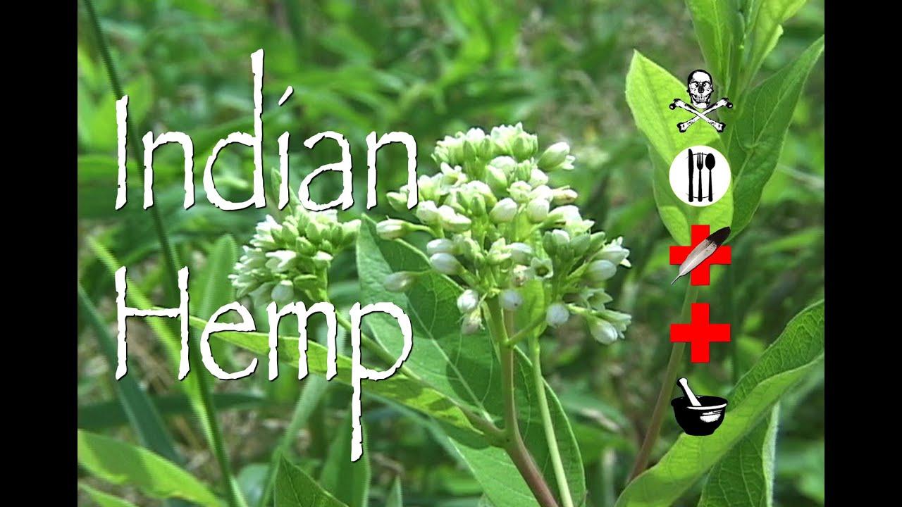Indian Hemp: Poison, Medicinal & Other Uses