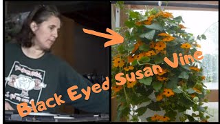 How to Grow Thunbergia Black Eyed Susan Vine From Seed