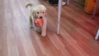 Animelplanet-kolkata.  Puppy Play.mp4