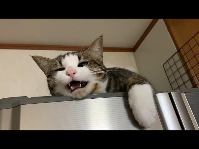 かわいい猫のかわいい鳴き声 【今日のひのき猫】