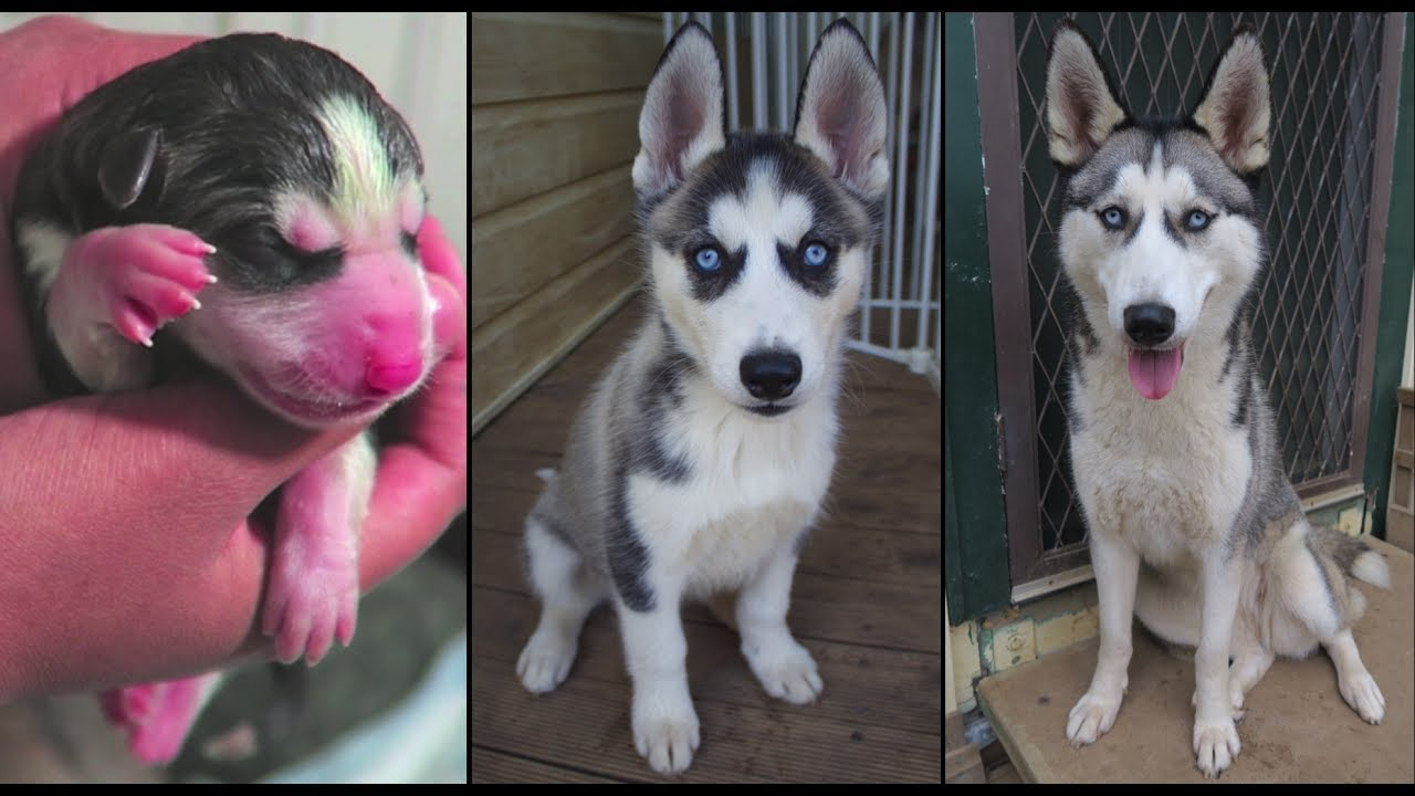Mileena Siberian Husky Newborn Puppy To Adult Weekly Time Lapse Birth 1 Year Old