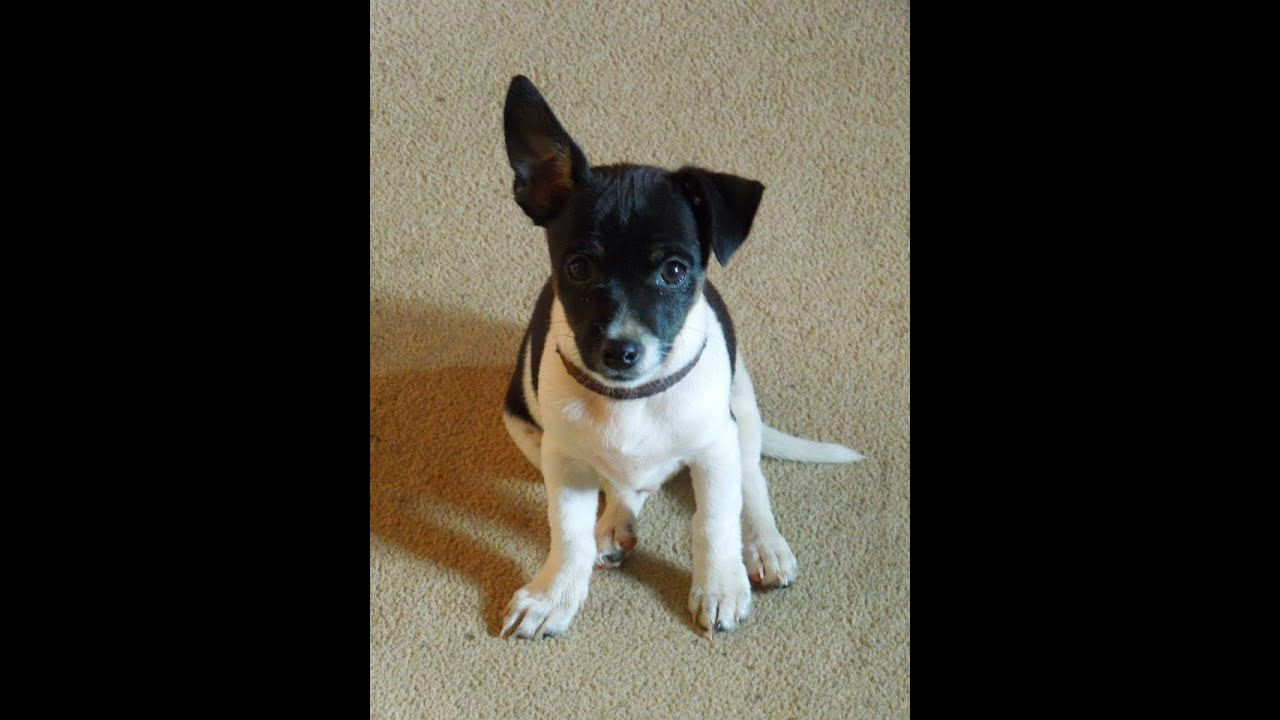 Jack Chi Dogs For Sale
