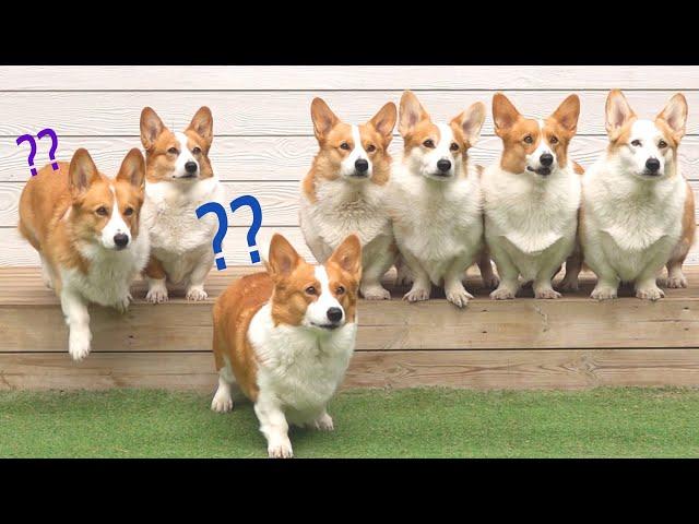 오 오 오자로 시작하는 말~ 과연 8코기들은 오케이~를 알아듣는걸까? Does 8Corgi really understand OK?
