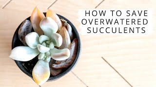 How To Save Overwatered Succulents