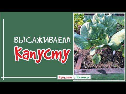Посадка капусты в грунт. 100% приживаемость | рассадой | открытый | цветной | посадка | капусты | капуста | сажать | почва | грунт | в