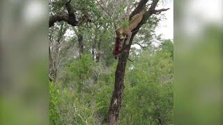 Il leopardo si arrampica sull'albero: nessuno immagina cosa nasconde