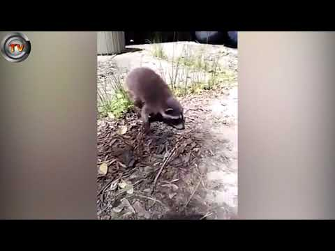 Horrible moment abandoned baby raccoon gets snatched up by dog | CCTV NEWS!