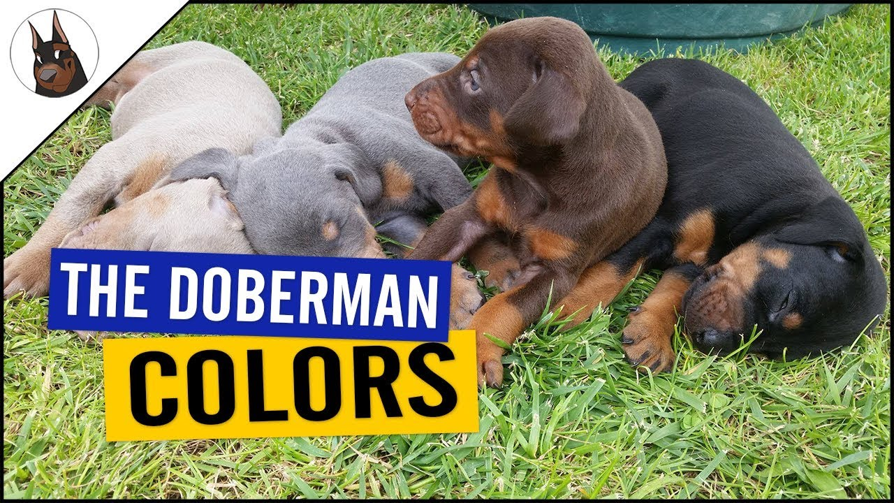 The Doberman Colors And One With