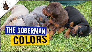 The DOBERMAN COLORS (and one with PROBLEMS)