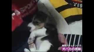 2004年2月25日、岡山にてビーグル犬が産まれる。同年4月上旬、生後わず...