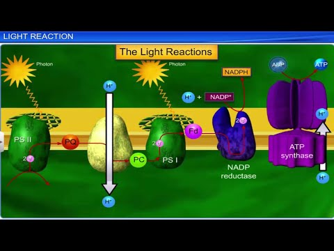 CBSE Class 11 Biology || Photosynthesis In Higher Plants || Full Chapter || By Shiksha House