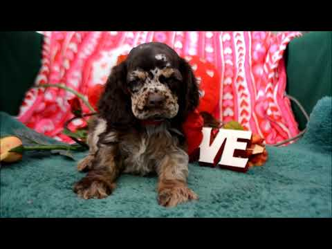 Chocolate Merle Cocker Spaniel Puppies for sale **www.maryscockerhaven.com** 719-306-8118
