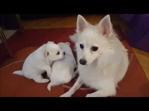 Mommy Motivates Puppies To Learn To Walk (Klein German Spitz)