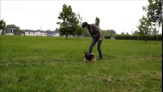 Norwich Terrier Bona (10 Months) : Dog-dance Competition Training