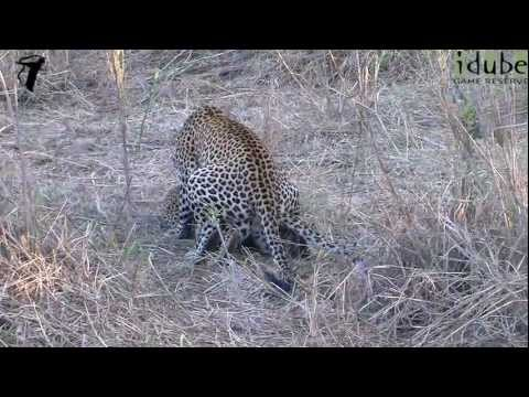 WILDlife: Mating Leopards in the Sand River