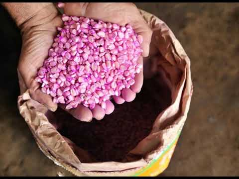 Seed Production In Maize