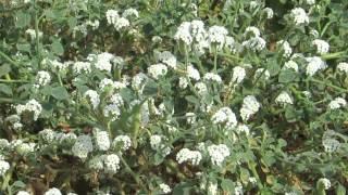 Красивые  и ароматные  полевые цветочки-Гелитроп !Кирьят-Ям.Израиль.