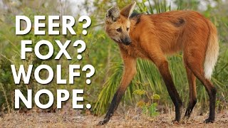 Not a Deer, Wolf or Fox, the Maned Wolf is Fascinating