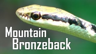 Mountain Bronzeback - Dendrelaphis subocularis - Beautiful Snake!