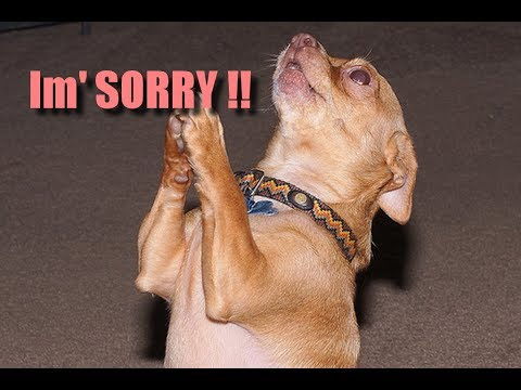 Guilty Dog : Trying to apologise