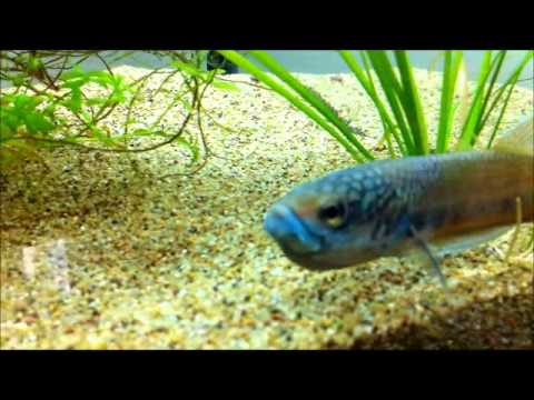 how to make microworms for betta fry