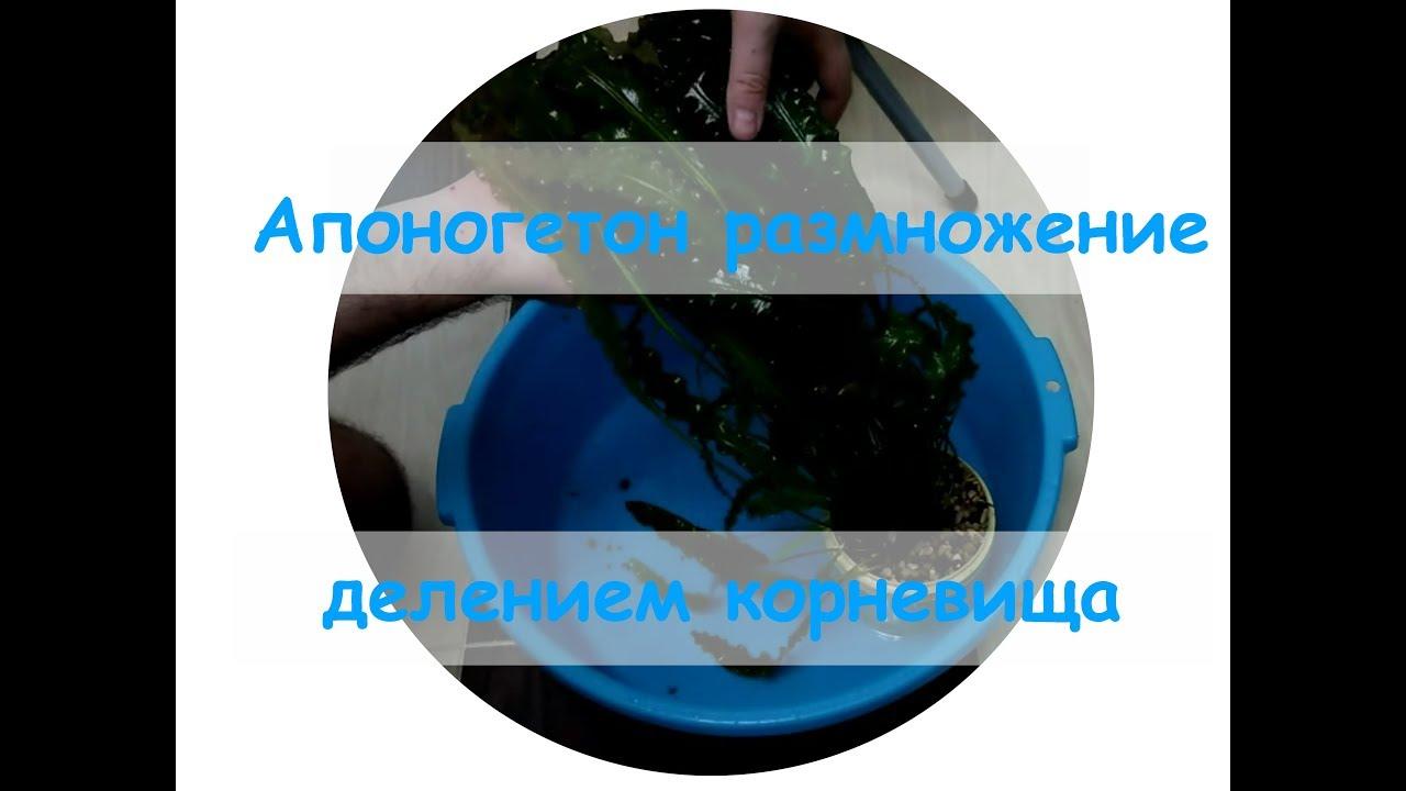 Апоногетон размножение делением корневища