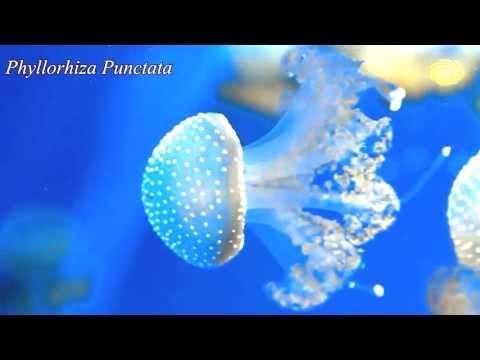 Sea drifters (jellyfish / медуза / medusa / meduze und ...