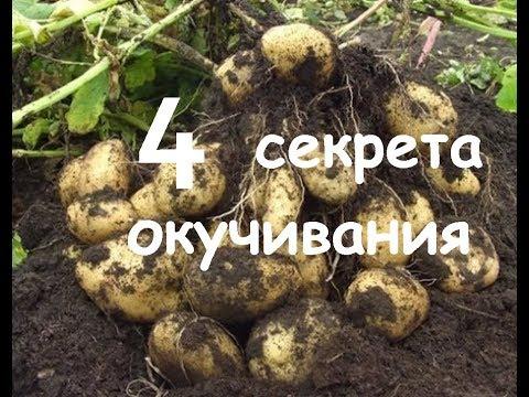 Как и когда правильно окучивать картофель. Сколько раз надо окучивать чтоб был хороший урожай.