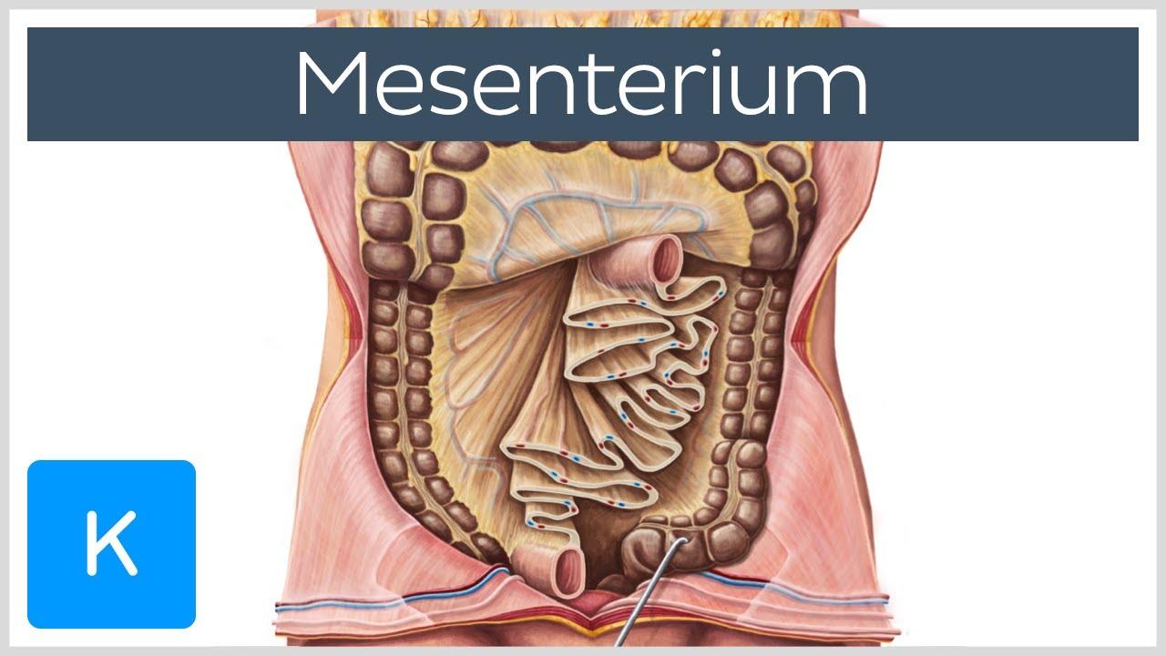 Mesenterium (Vorschau) - Anatomie des Menschen  Kenhub