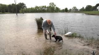 Wildrose Retriever Training Tips: Introducing Your Dog To Water