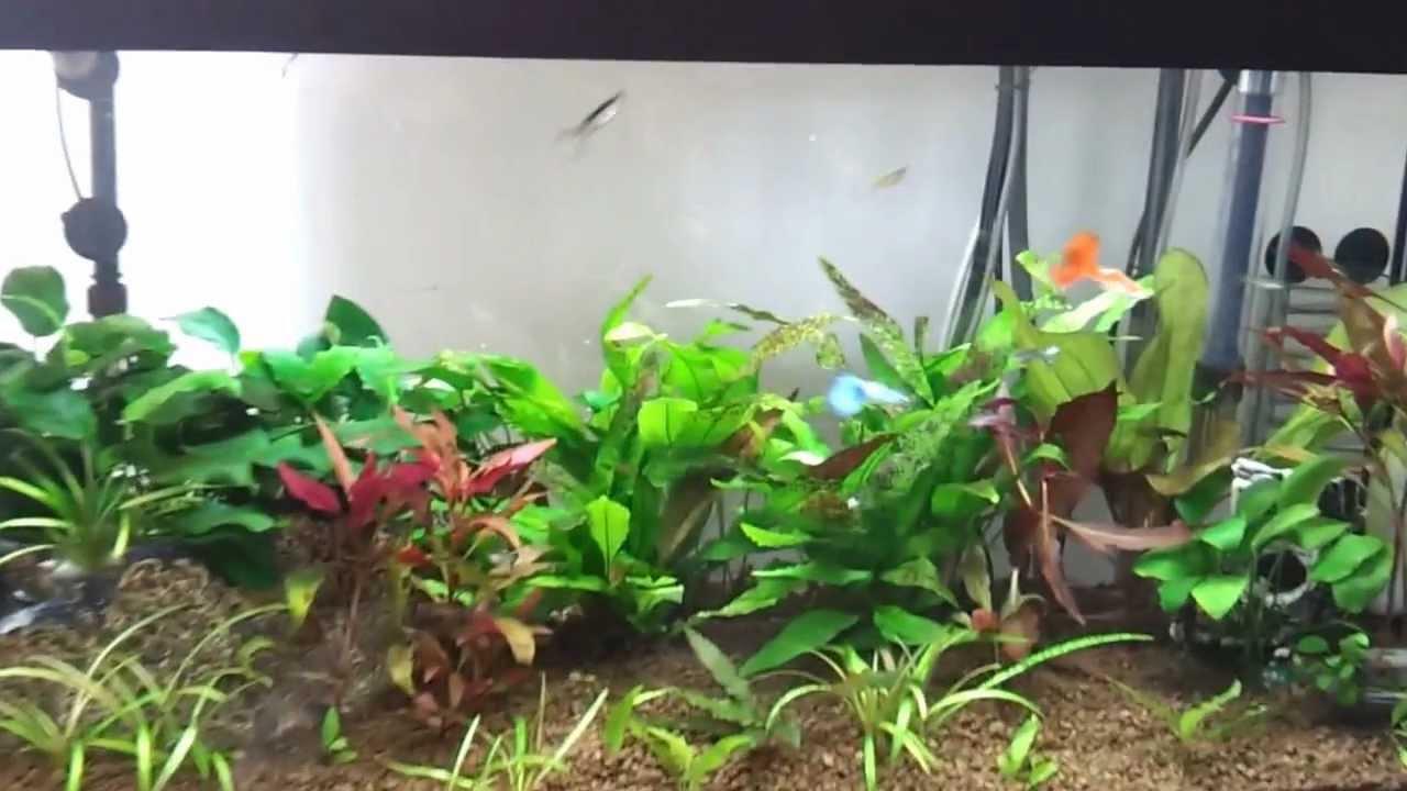 hd acquario dolce guppy con piante vere - youtube - Allestimento Acquario Dolce Con Piante Vere