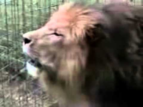 lion saying allah Video By ASAD NADEEM