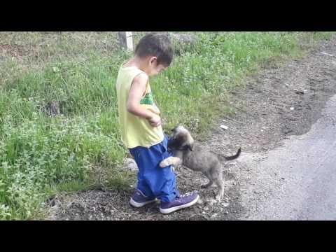 kangal yavrusu cocugu ısırdı Gülme garantili Ozan paşa..