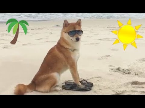 Shibe Goes To Beach