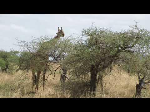 How tall are giraffes