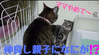 お待たせしました❗きじ猫家族✨