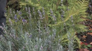 Gardening Tips : Growing Lavender Plants