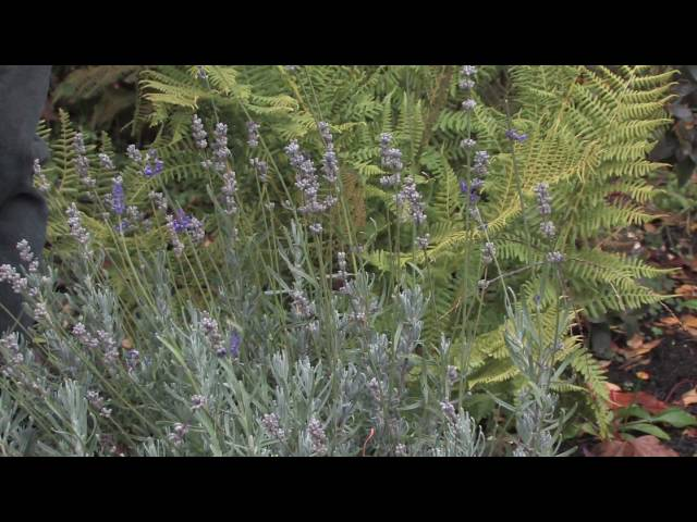 Gardening Tips: Growing Lavender Plants