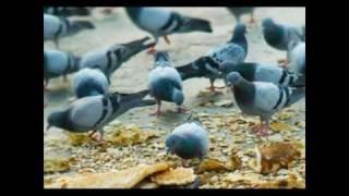 Rock Dove الحمام الجبلي الحمام السوادي