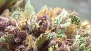 Headband and Purple Kush Harvest